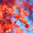 Red Maple Leafs on a Blue Sky — Stock Photo #17440813