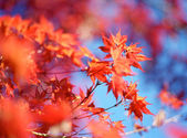 Red Maple Leafs on a Blue Sky — Stock Photo