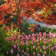 Japanese Maple and Tulips — Stock Photo