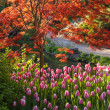 Japanese Maple and Tulips — Foto Stock