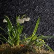Stock Photo: Snowdrops
