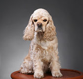 Piccolo cane — Foto Stock