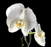 White beautiful orchid — Stock Photo