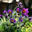 Purple pasque flowers — Stock Photo