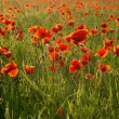 Fields of wonderful red poppies - Stock Photo