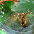 Funnel Web Weaver Grass Spider out on his funnel web. — Stock Photo