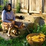 Old peasant woman harvests corncobs — Stock Photo
