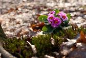 Beautiful pink primrose — Stock Photo