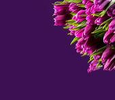 Fialové tulipány — Stock fotografie