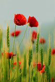 Close-up of red poppy flowers — Stock Photo