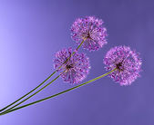 Violet Garlic Flowers — Stock Photo