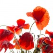 Poppies — Stock Photo #25515423