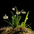 Snowdrops (galanthus nivalis) — Stock Photo #26007345
