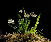Snowdrops (galanthus nivalis) — Stock Photo
