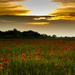 Stock Photo: Summer poppies field
