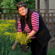 Mature woman picking dill — Stock Photo