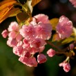 Cherry blossom branch — Stock Photo #28825189