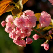 Stock Photo: Cherry blossom branch