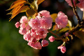 Cherry blossom branch — Stock Photo