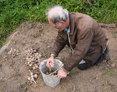 Farmer harvesting garlic into the pail — Stock Photo