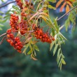 Stock Photo: Bright rowberries on tree