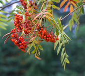 Bright rowan berries on a tree — Stock Photo