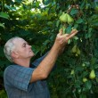Farmer picking pears — Stock Photo