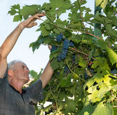 Farmer is harvesting ripe grapes in vineyard — Stock Photo