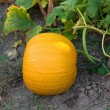 Pumpkin growing in the garden. — Stock Photo #30164101