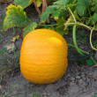 Pumpkin growing in the garden. — Stock Photo