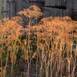Stock Photo: Dried dill growing in garden