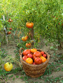 Harvested tomatoes in basket on the ground — Stock Photo