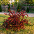 Red leaf barberry bush — Stock Photo #31051849