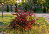 Red leaf barberry bush — Stock Photo