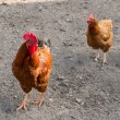 Cock and hen — Stock Photo #31315911
