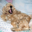 Spaniel lying in bed and yawning — Stock Photo