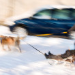 Dog team with kid on sledge — Stock Photo