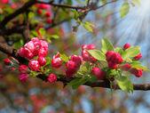 赤春の花 — ストック写真