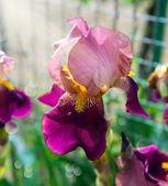 Beautiful violet irises — Stock Photo