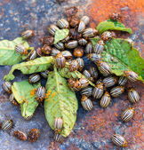 Colorado beetles  — Stock Photo