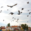 Flight flock of pigeons against the sky — Stock Photo #48697021