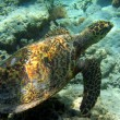 Stock Photo: Seturtle swimming in IndiOcean