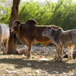 Stock Photo: Travel India: Group of holy cows in Pushkar