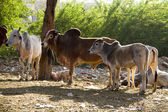 Travel India: Group of holy cows in Pushkar — Stock Photo