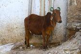 святая корова индийских с зеленым окрашенные рогами — Стоковое фото