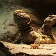 Lizards: Two central bearded dragons — Stock Photo