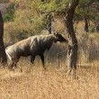 Stock Photo: Male of Nilgai - largest indiantelope