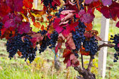 Purple grapes in wine yard, autumn — Stock Photo