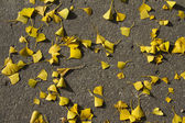 Autumn: yellow gingko leaves on the groung — Foto de Stock