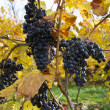 Detail of purple grapes in wine yard, autumn — Stock Photo #35504519